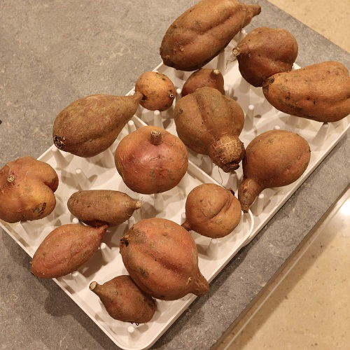 いろいろな形の安納芋