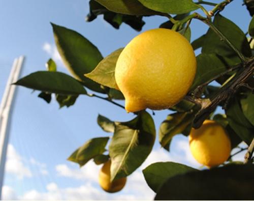 瀬戸田のレモン