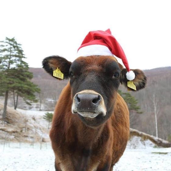 牛クリスマス